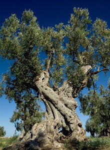 Puglia's fabulous olive trees