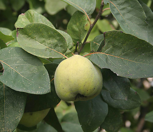 The innumerable qualities of quince