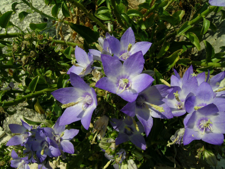 The Apulian bellflower