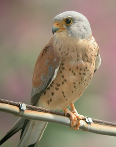 The lesser kestrel